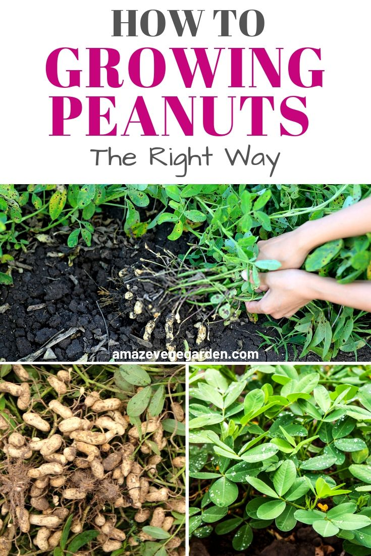 how to growing peanuts the right way