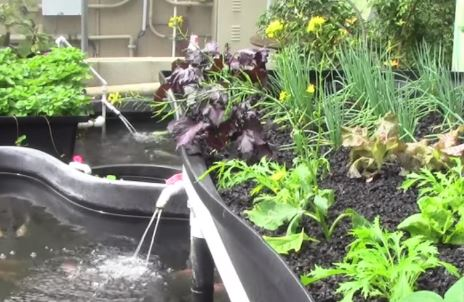 aquaponics fish and plants