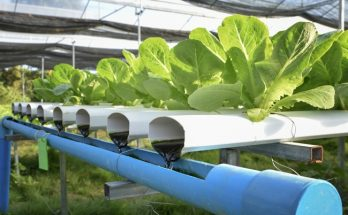 vegetable aquaponics