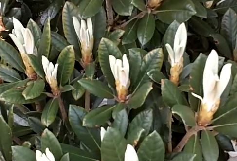 Grooming Rhododendrons