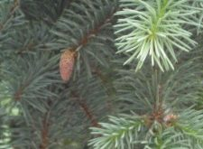 pine and evergreen