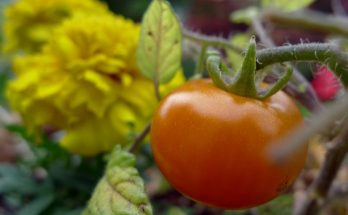 marigold and tomato