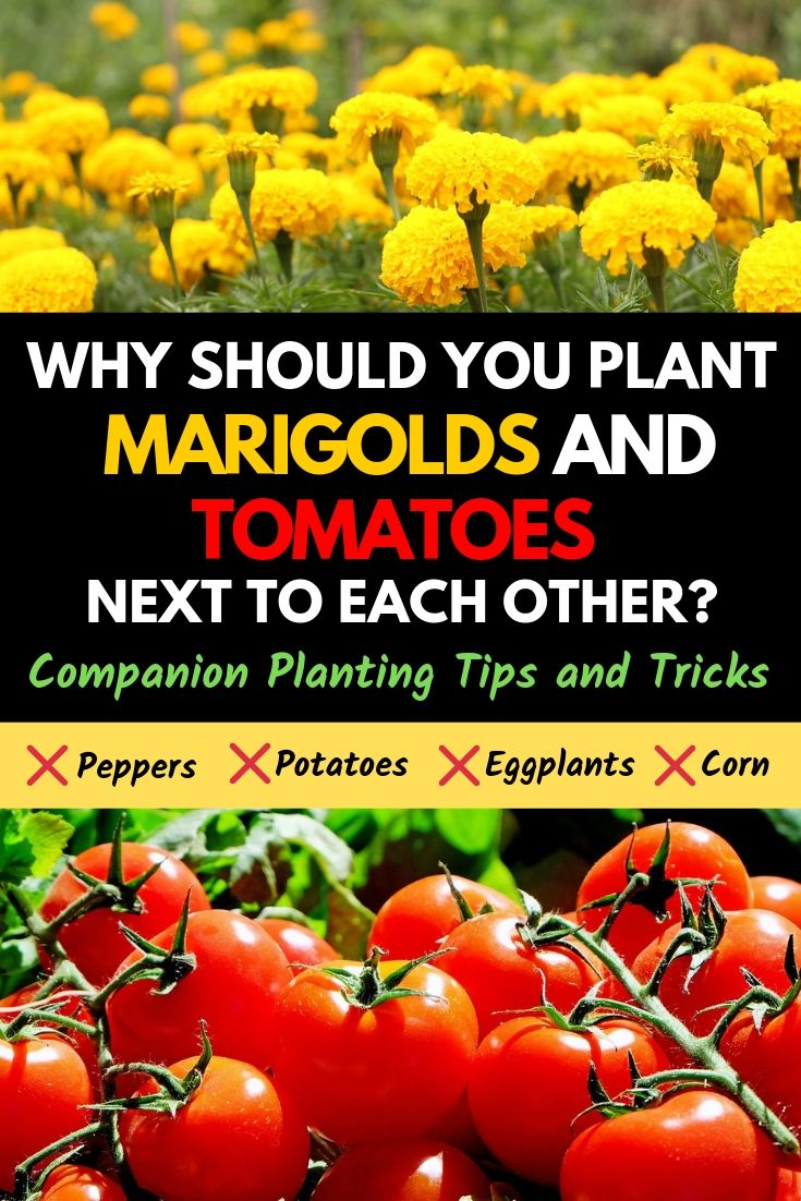 Why should you plant marigolds and tomatoes next to each other?