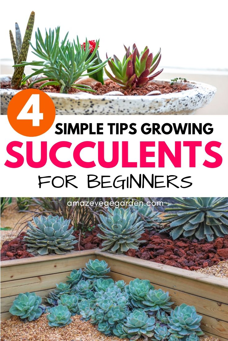 tips growing succulents for beginners