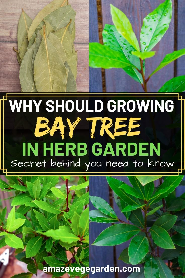 Why should growing bay tree in herb garden