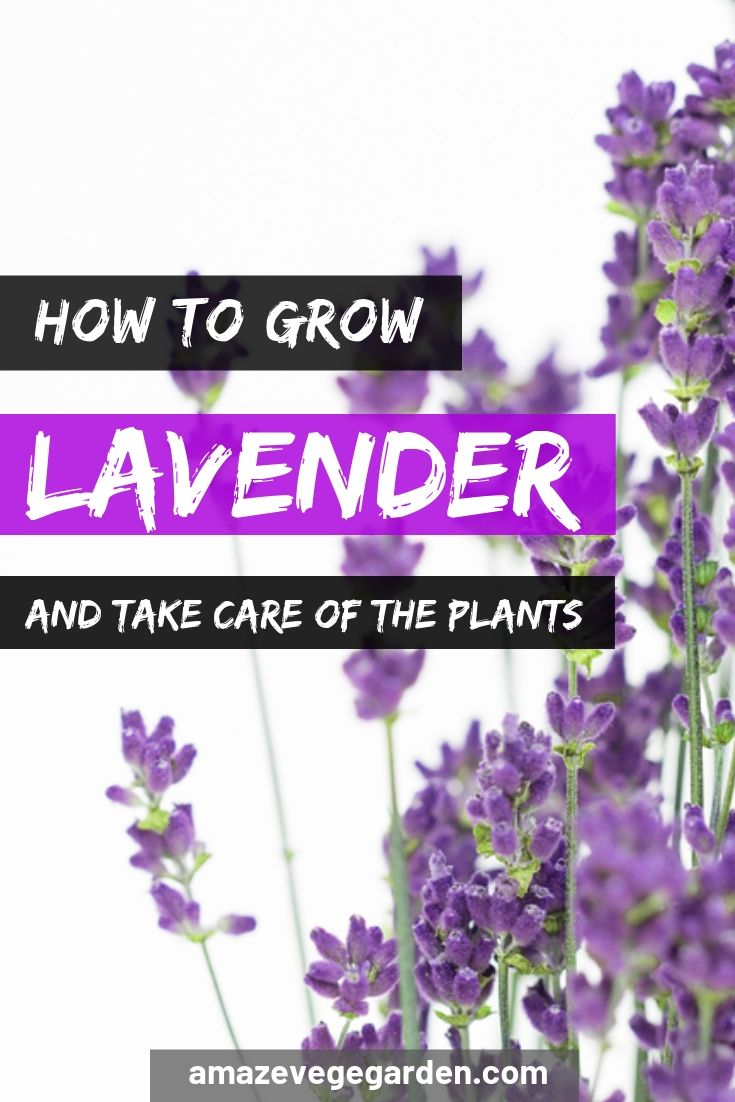 how to grow lavender and take care of the plants
