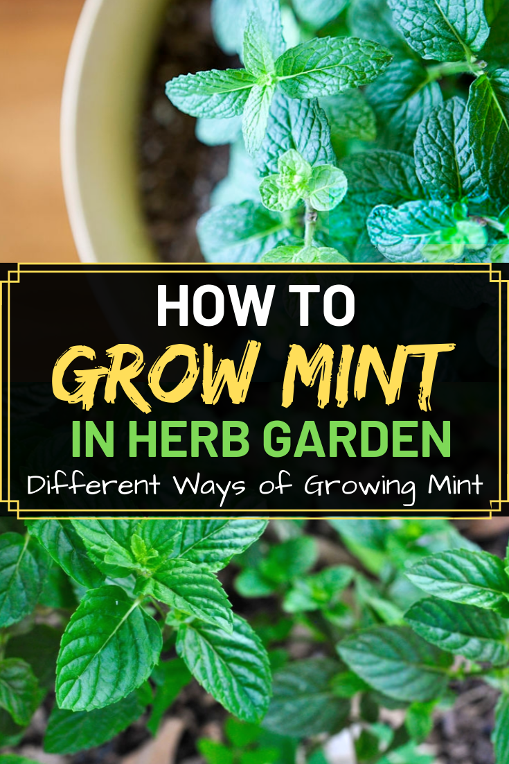 how to grow mint in herb garden