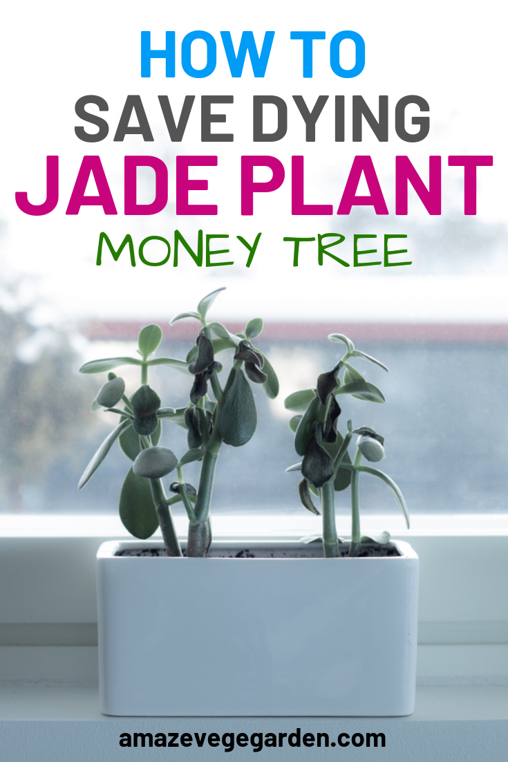 how to save a dying jade plant
