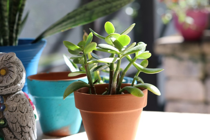 save jade plant succulents