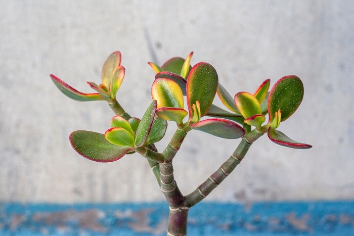 Jade plant yellow leaves