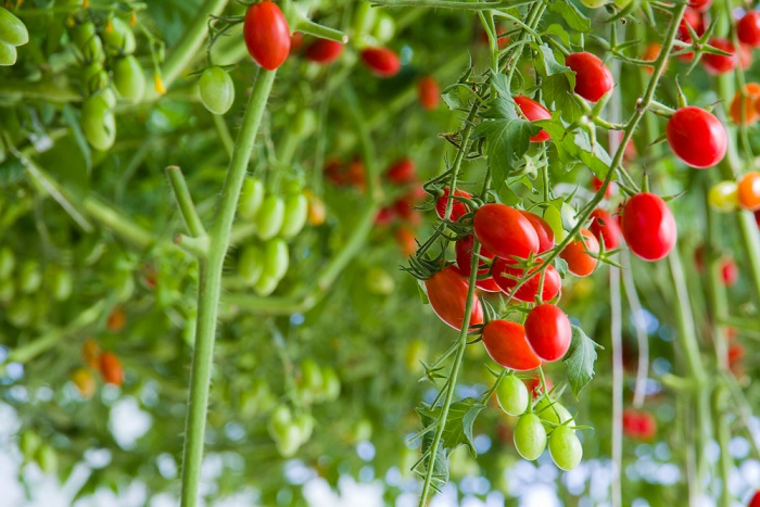 6 way to preserve cherry tomatoes