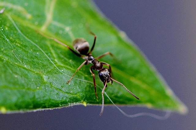 ants-on-hisbicus