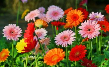 how to get gerbera daisy bloom
