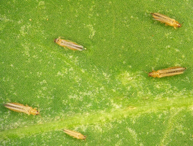 thrips on hisbicus plants