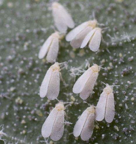 white flies on hisbicus plants