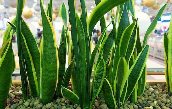how to grow and care for a snake plant