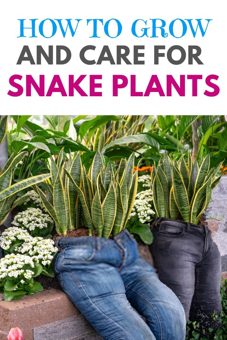 how to grow and care for snake plants