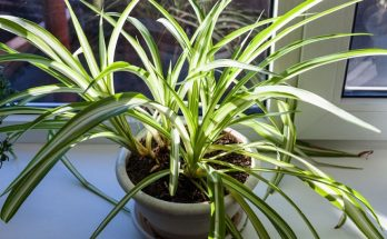 grow and maintain spider plant