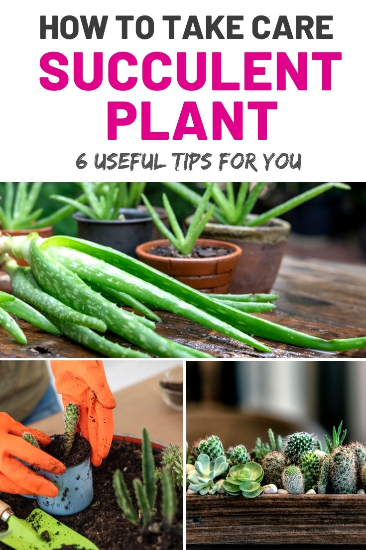 how to care of your succulent plant