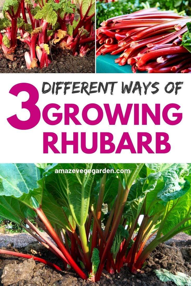 3 different ways of growing rhubarb