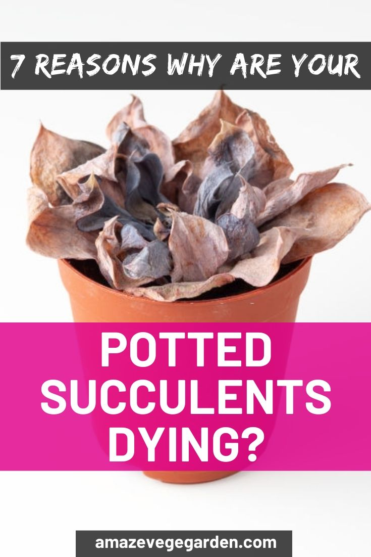 7 reason why are your potted succulents dying