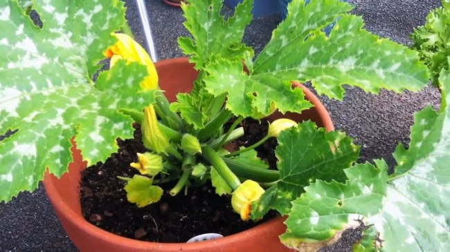 grow zucchini in container