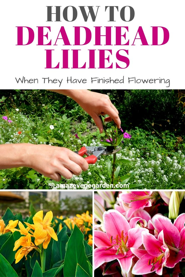 How to Cut or Deadhead Lilies When They Have Finished Flowering