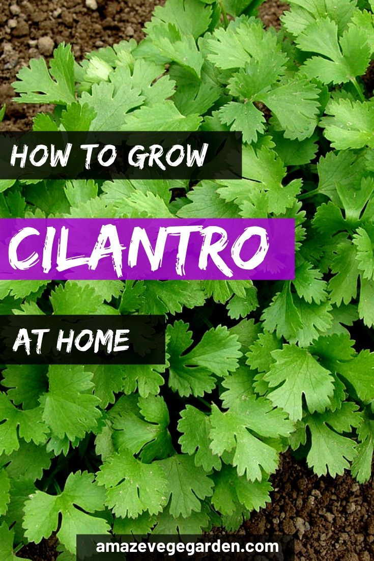 how to grow cilantro at home