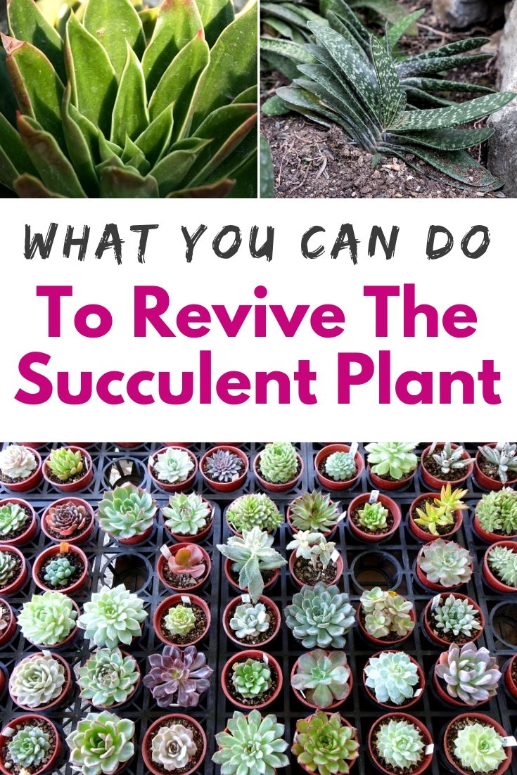 What You Can do To Revive The Succulent Plant