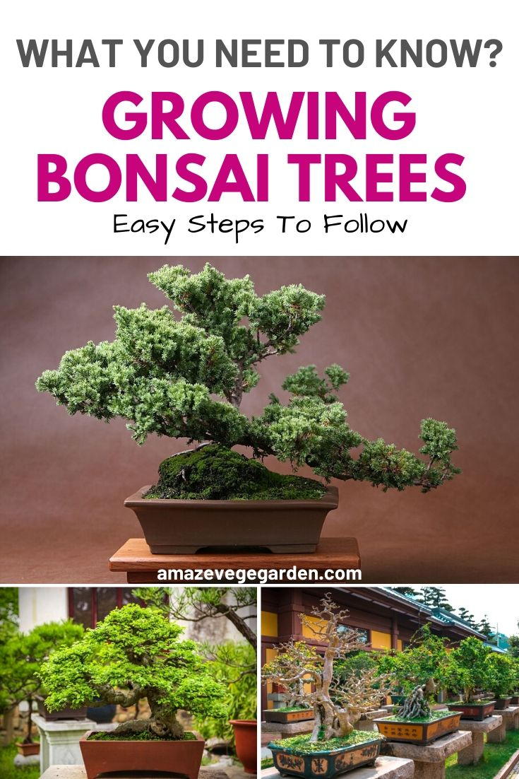 What You Need To Know Growing Bonsai Trees