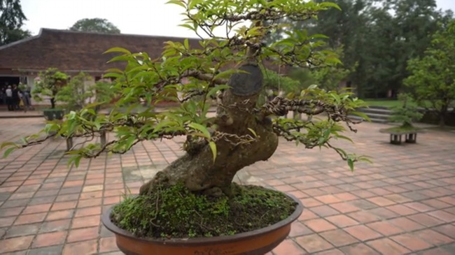 Growing Bonsai Trees What You Need To Know Amaze Vege Garden