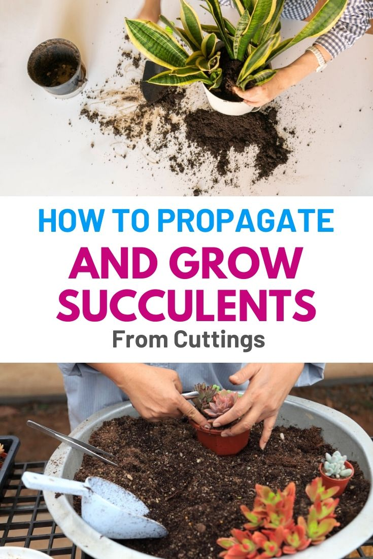 How To Propagate and Grow Succulents From Cuttings