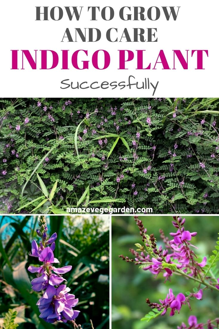 How to Successfully Grow and Care for an Indigo Plant