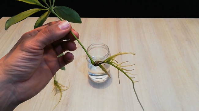 umbrella plant propagation