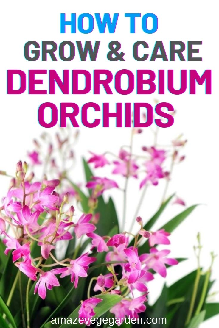 How To Grow and Care for Dendrobium Orchids