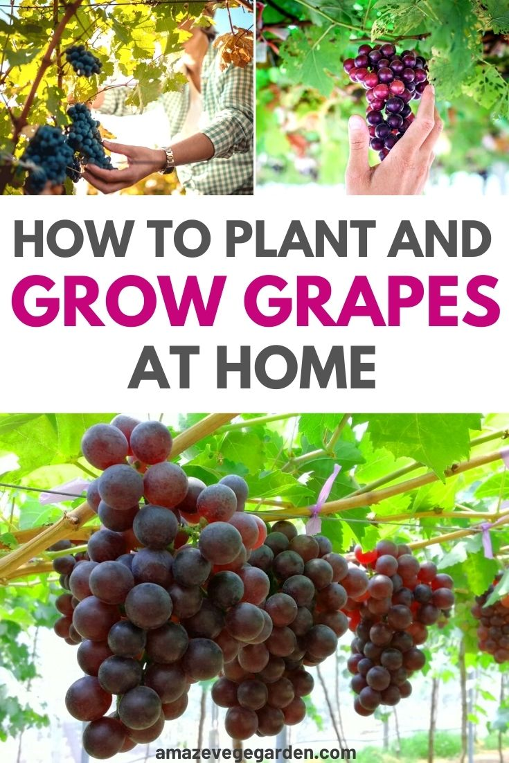 How To Plant and Grow Grapes At Home