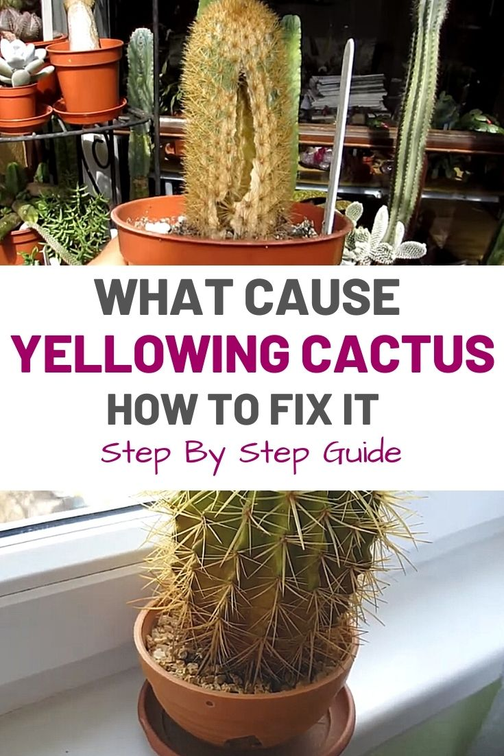 What Cause Yellowing Cactus and How to Fix It