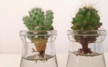 propagate cactus in water