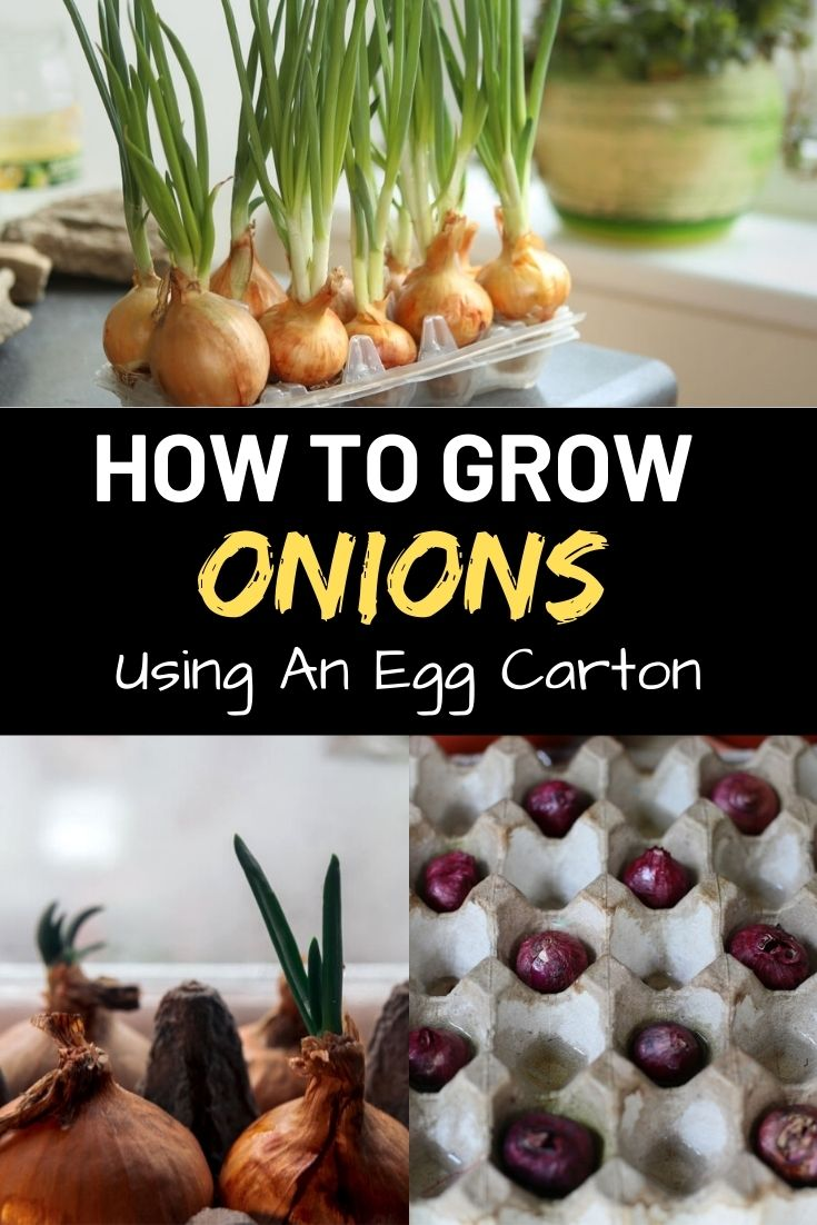How To Grow Onions Using An Egg Carton