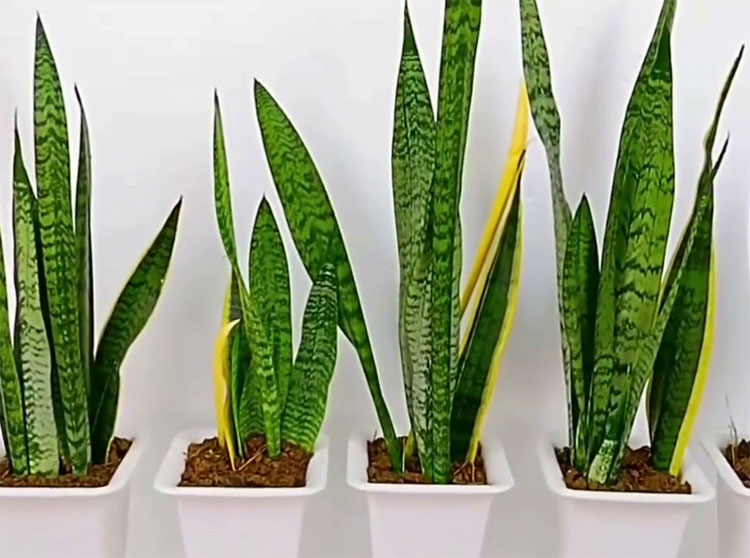 water snake plant