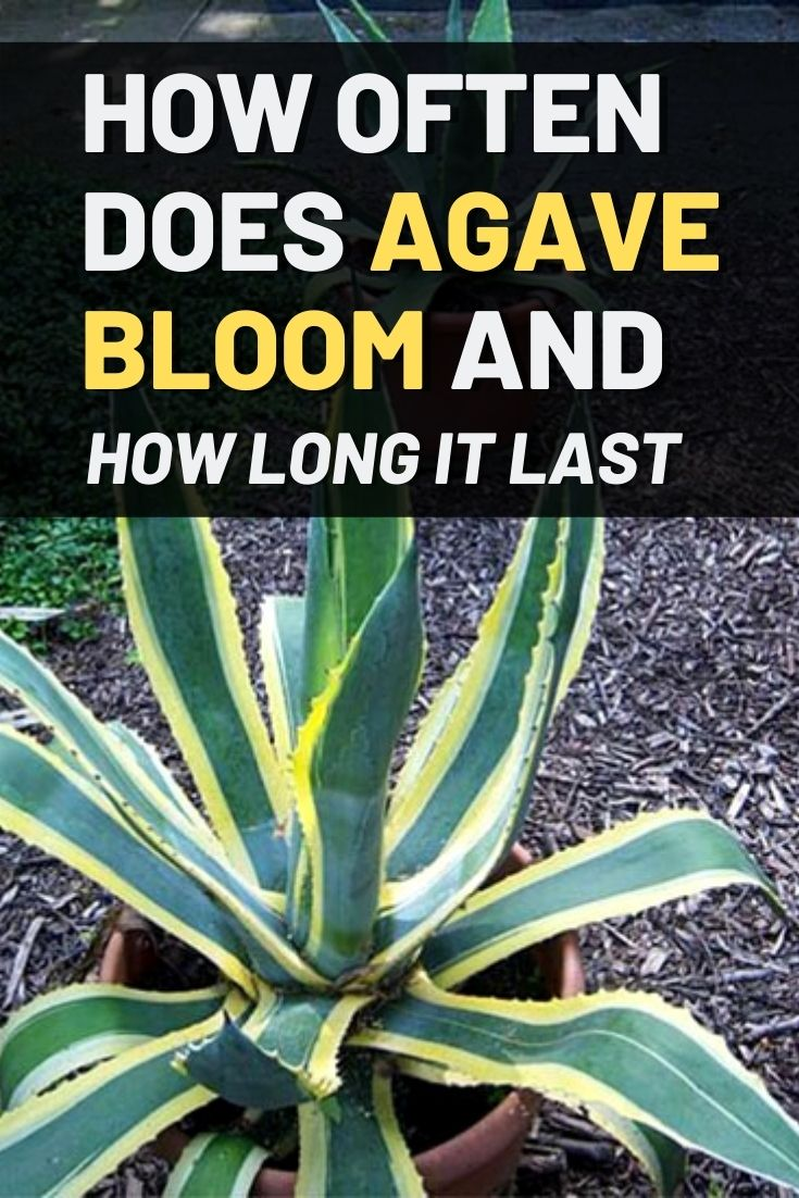 How Often Does Agave Bloom and How Long It Last