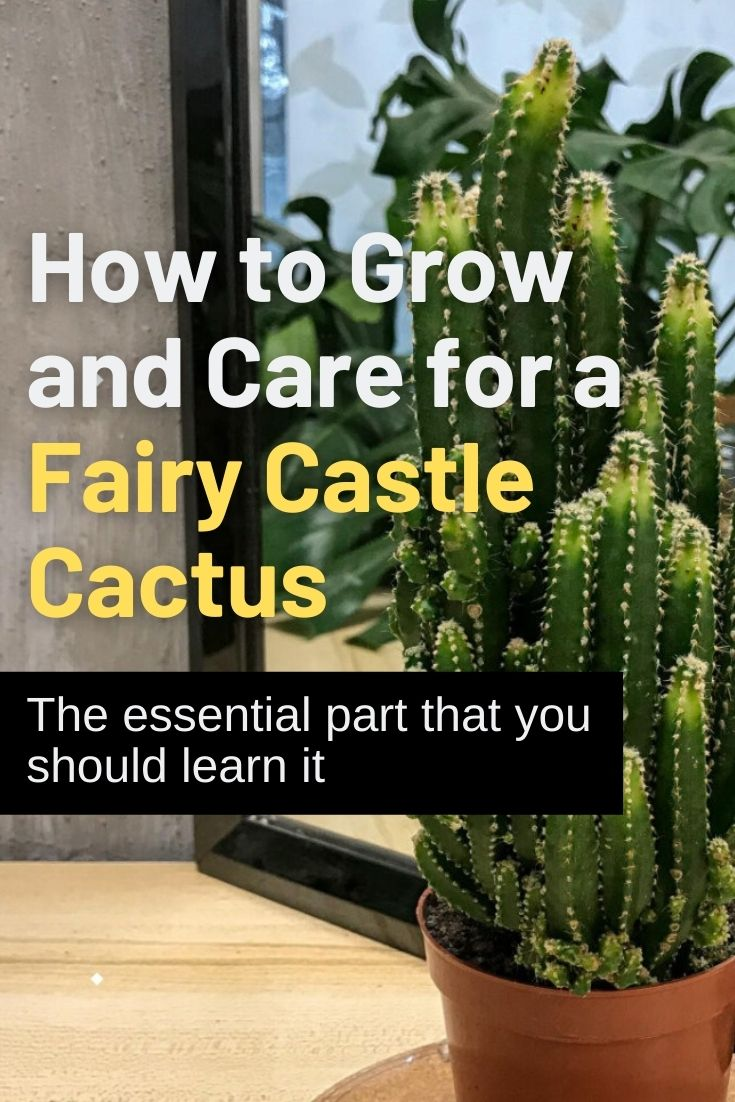 How to Grow and Care for a Fairy Castle Cactus