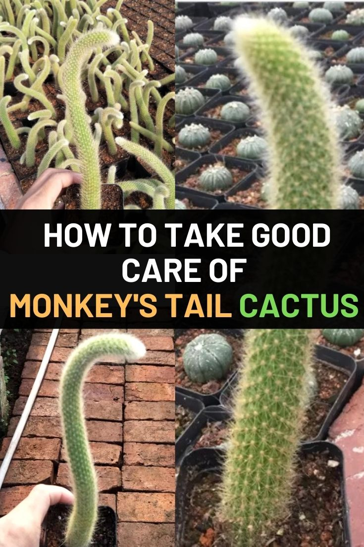 Monkey's Tail Cactus – How to Take Good Care of It