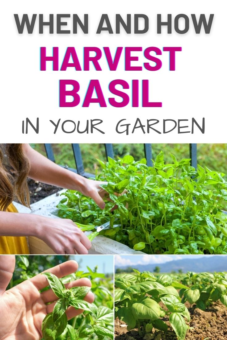 When and How to Harvest Basil in Your Garden