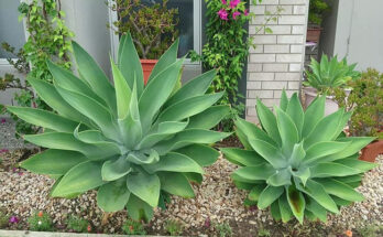 agave plant 3