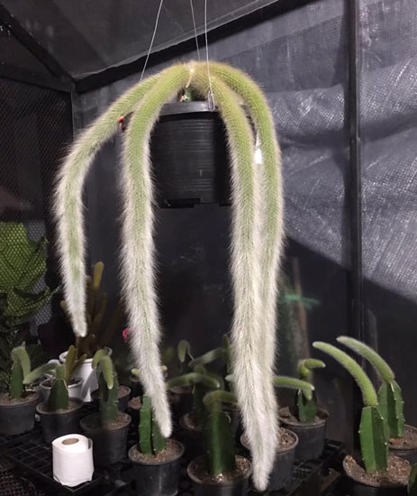 monkey's tail cactus