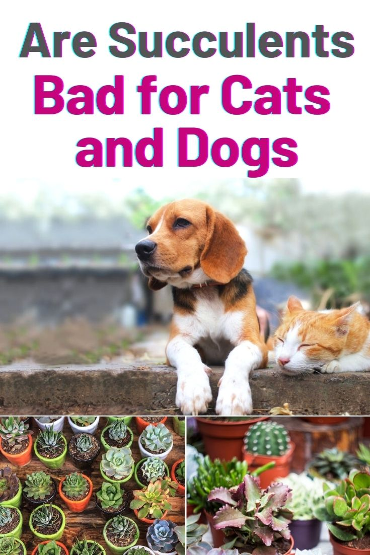 Are Succulents Bad for Cats and Dogs
