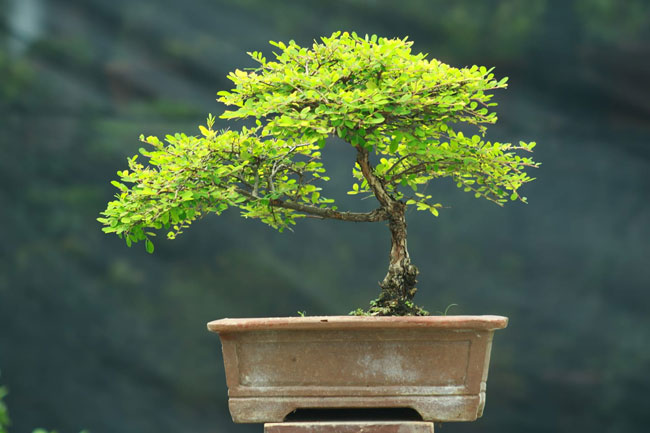 Honey Locust bonsai