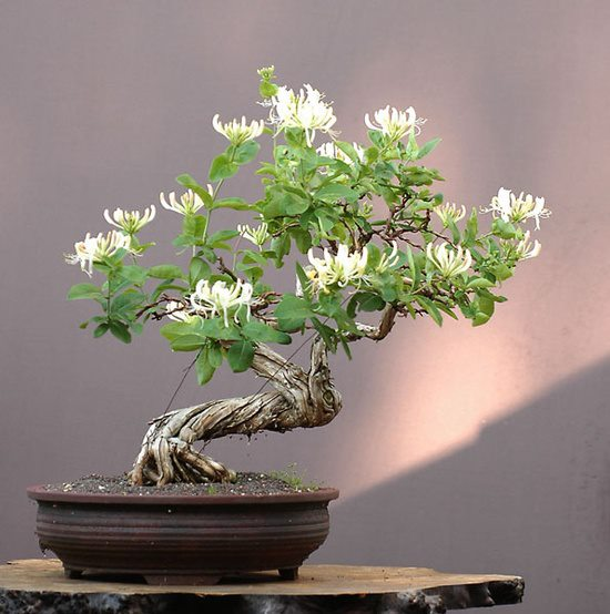 Honeysuckle bonsai