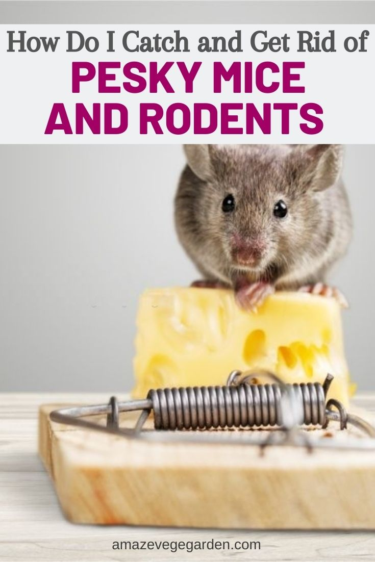 How Do I Catch and Get Rid of Pesky Mice and Rodents